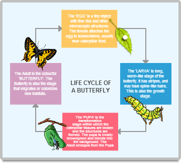 online diagram examples  made with creately   creately   lessonpathslife cycle of a butterfly  storyboard diagram examples